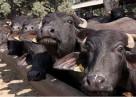 Ankaralı Çiftçiye manda üretim desteği